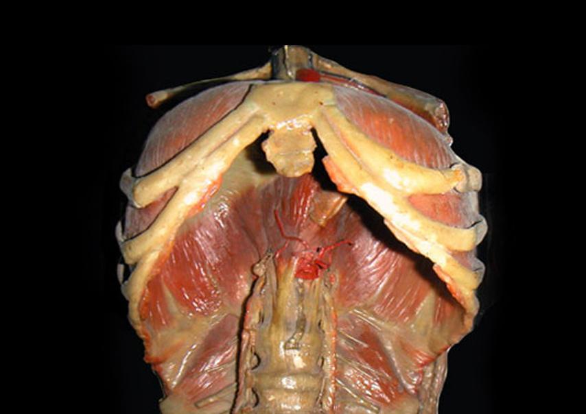 La libération du diaphragme